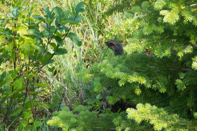 A grouse at Apgar Lookout.