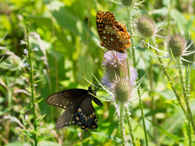 Butterflies at the Mckee-Beshers WMA in Poolesville, MD.